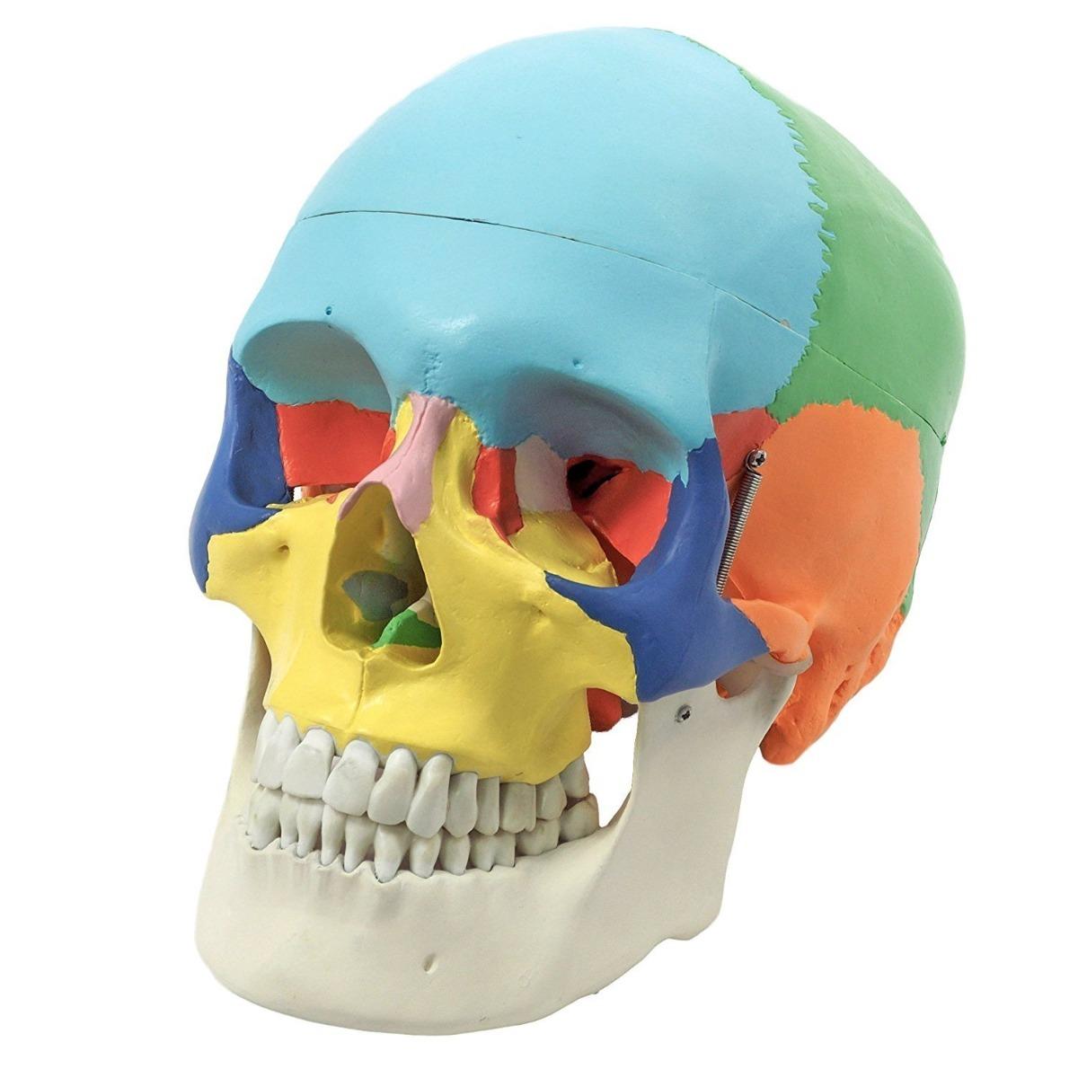 Cráneo Humano - Modelo Anatómico Réplica Exacta - $ 64.990 en ...