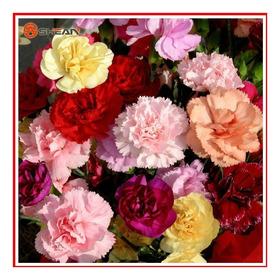 Cravo Chabaud Gigante Sortido Flor - Sementes Para Mudas