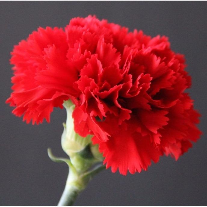 Resultado de imagem para flores cravos gigantes
