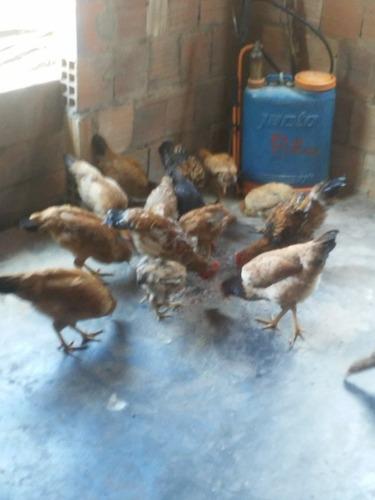 criaçao de galinha como criar seus pintinhos