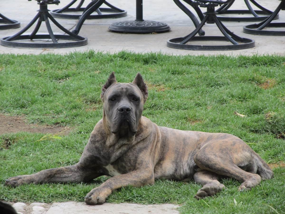 Criadero classicorso cachorros cane corso italiano for Corso arredatore d interni roma