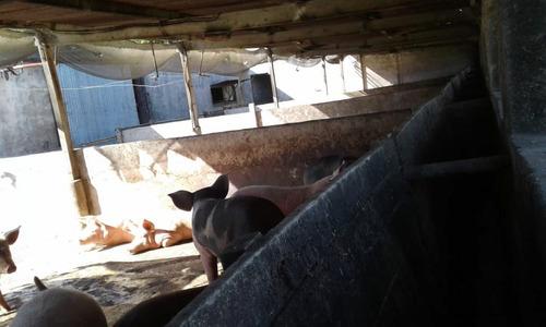 criadero de cerdo marcos paz