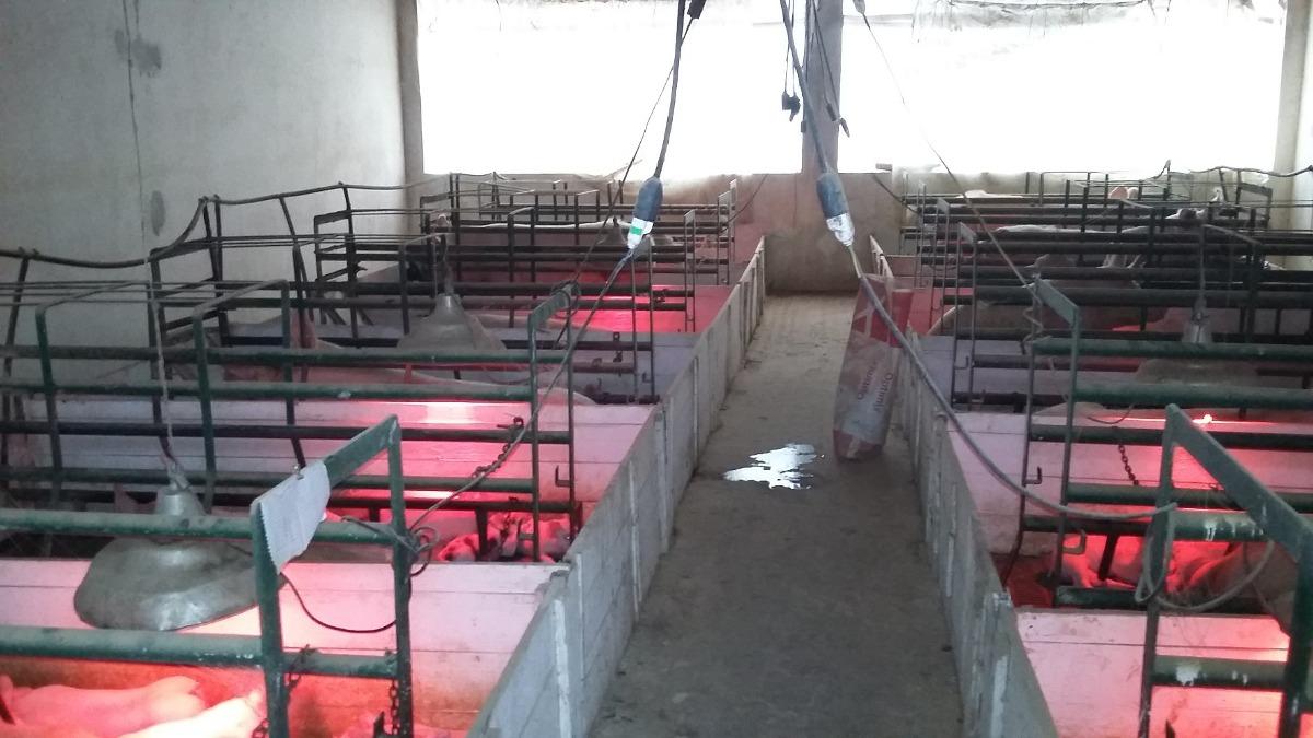 criadero de cerdos ciclo completo en alquiler en bs. as.