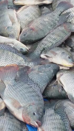 criadero de peces tilapia gris en bonao.