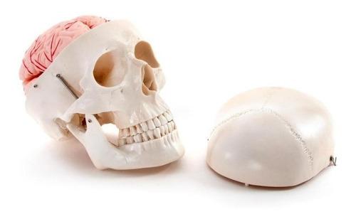 crânio humano clássico c/ cérebro