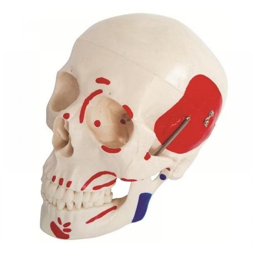 crânio humano clássico c/ músculo pintado - fisioterapia