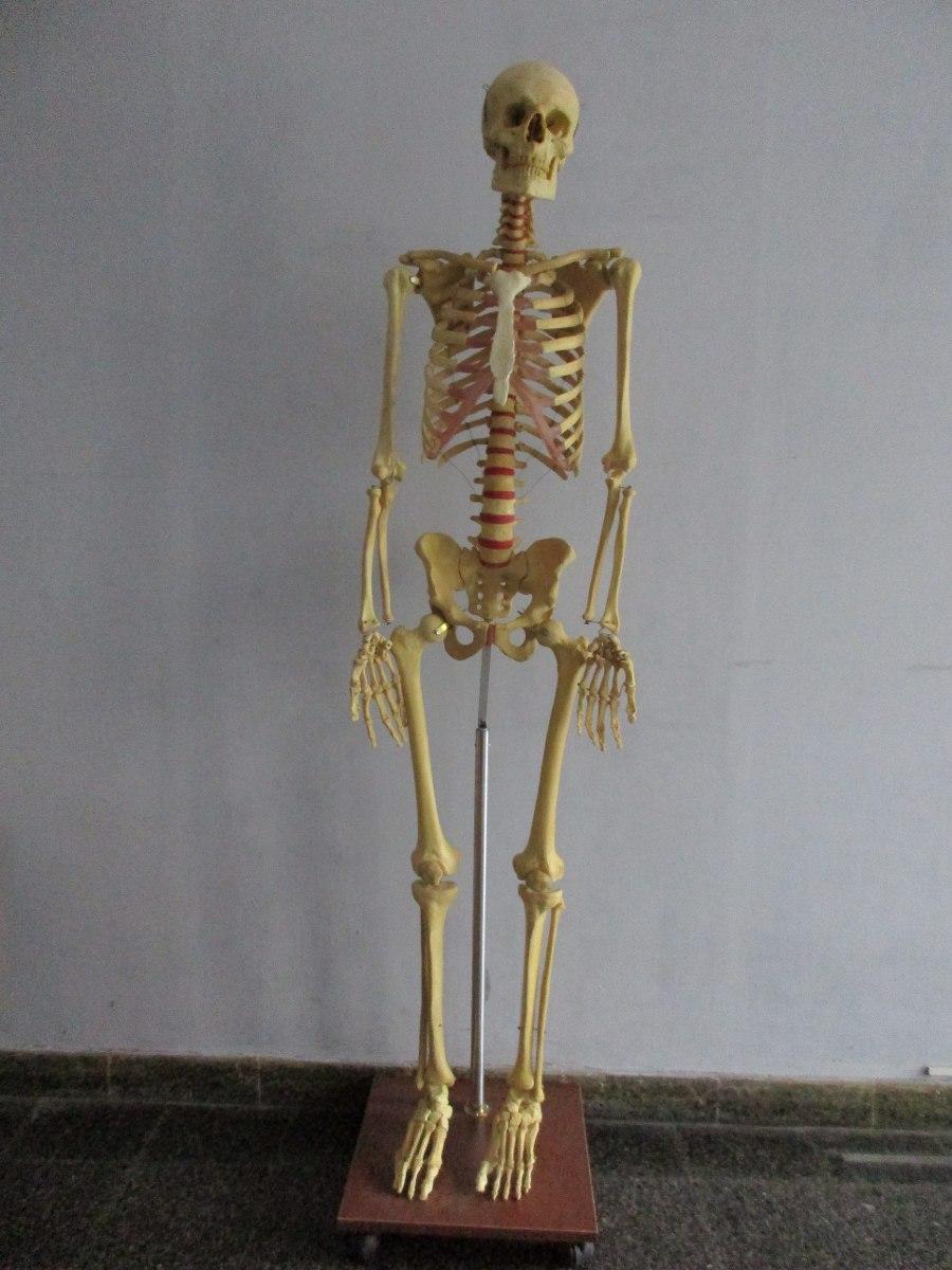 Contemporáneo Imágenes De Los Huesos Del Esqueleto Ideas - Imágenes ...