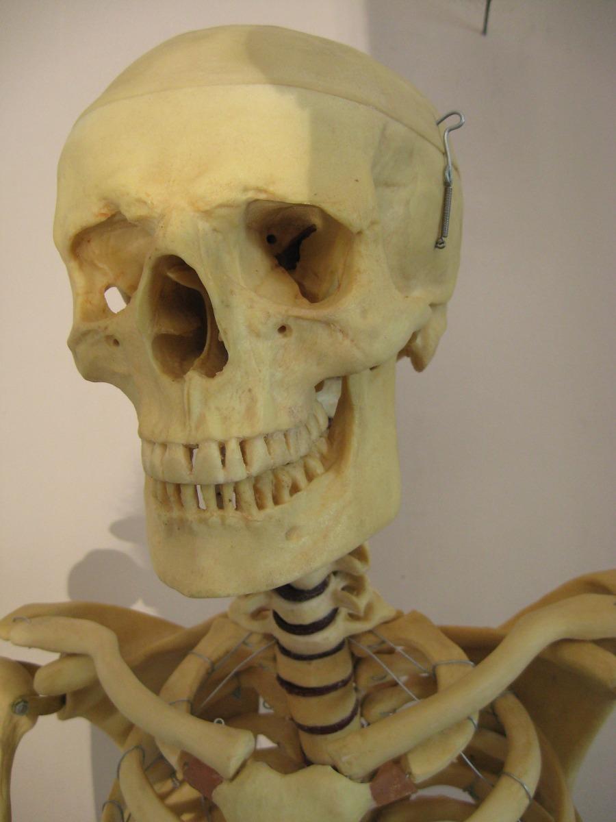 Contemporáneo Reales Esqueleto Fotos Humanos Galería - Anatomía de ...