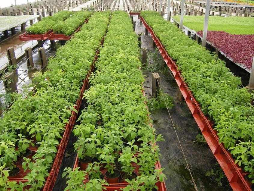 Cultivo de stevia rebaudiana invernaderos agricultores Plantas de invernadero