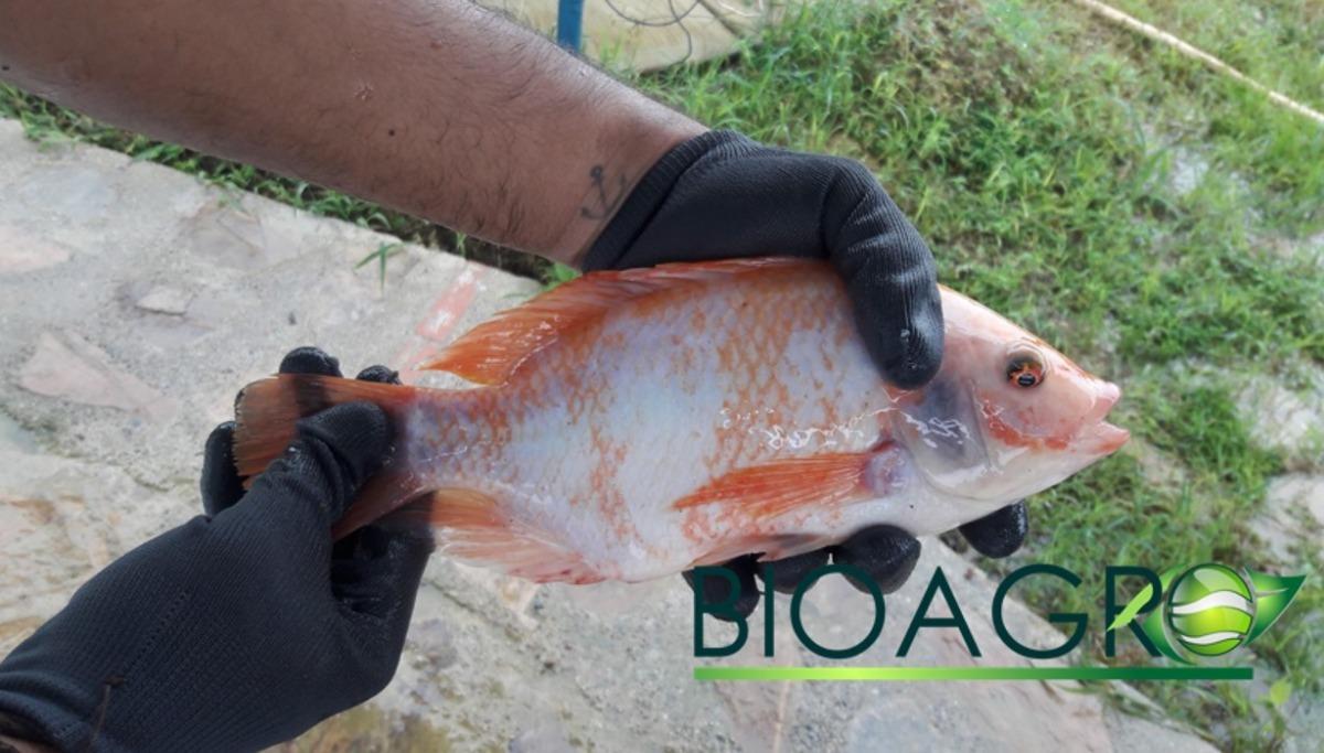 Cultivo Tilapia Pargo Rosado Mojarra Agua Dulce Proyectos - $ 1.000 ...