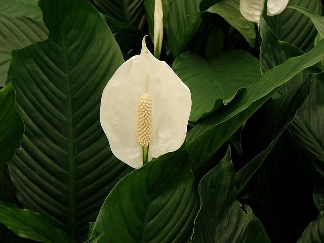Тенелюбивые комнатные растения фото  Самые тенелюбивые и