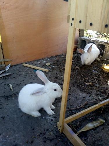 cunicultura hermosos conejos para criar y para mascota