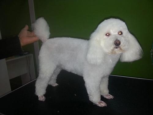 curso de peluqueria canina. escuela 11 años enseñando