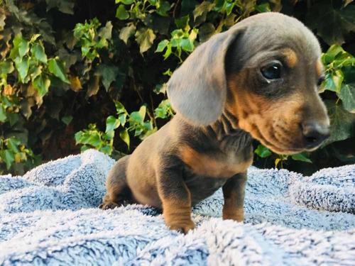 dachshund blue  cachorros salchicha mini blue an tan