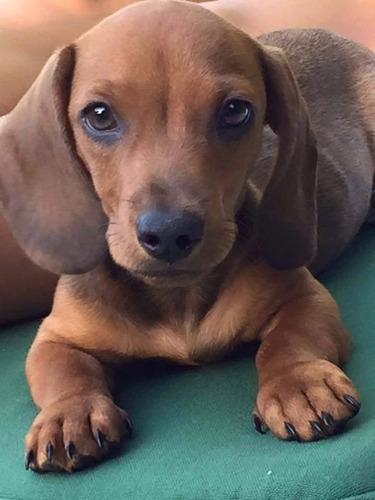 dachshund lymyz- teckel-envios a t/ el pais-machos acai-acw