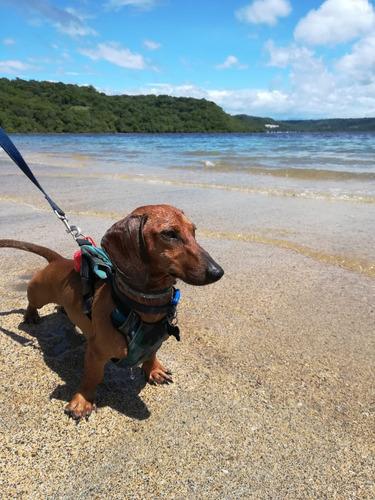 dachshund padrote mini (solo para salto).
