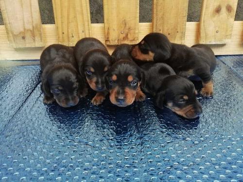 dachshund padrote mini (solo para salto). ( salchicha )