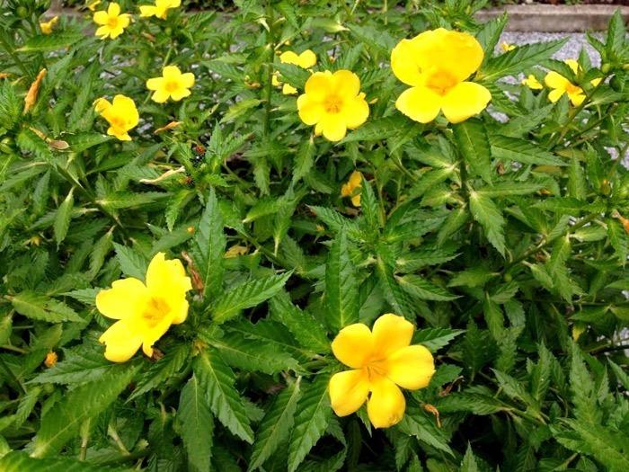 Damiana ( Turnera Diffusa ) Venta De Planta Las Unicas - $ 285.00 ...
