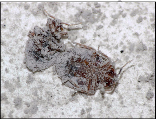 diatomeas fertilizante 500gr insecticida no toxico