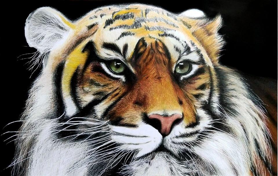 Dibujo Realista De Tigre. Con Colores Prismacolor Premier ...