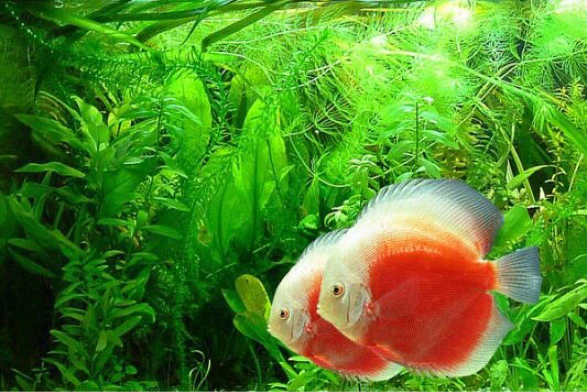 Discus pellets new era 120 g pez disco alimento tetra for Peces de agua fria para consumo humano