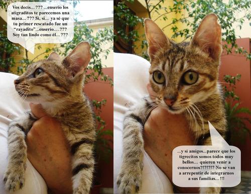 dixie: cachorra atigradita  simil singapur, en adopcion!
