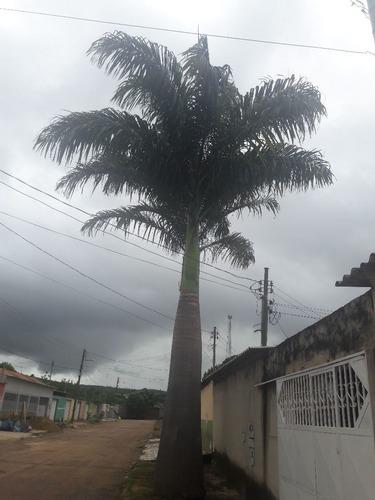 doação de 02 palmeiras imperial