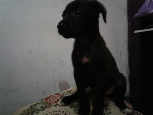 doação de filhotes de cachorro 1 mes e meio