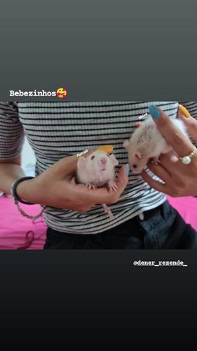 *doação de ratinhos twister*