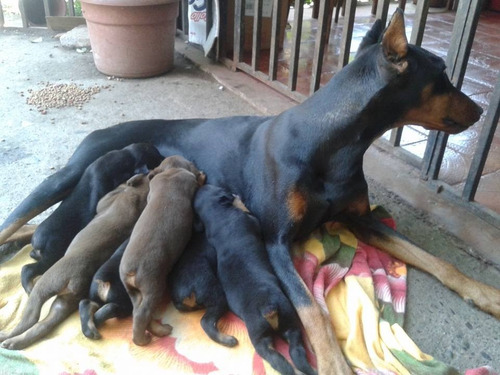 doberman para reserva 5 machos disponibles