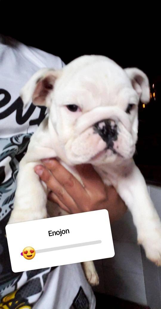 Hermosos Cachorros Bull Dog Ingles 600 000 En Mercado Libre