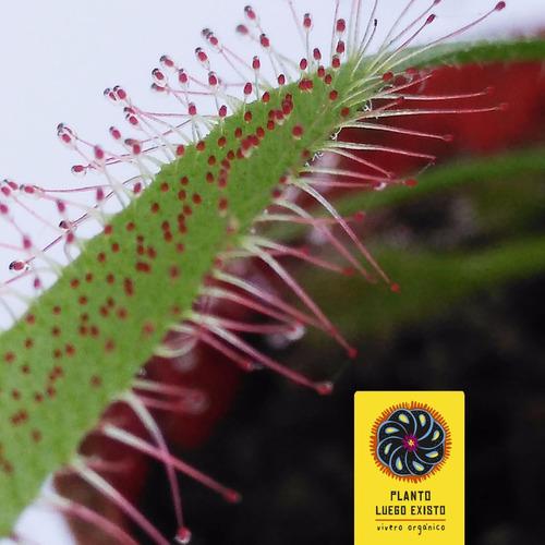 drosera - 12 meses - plantas carnívoras