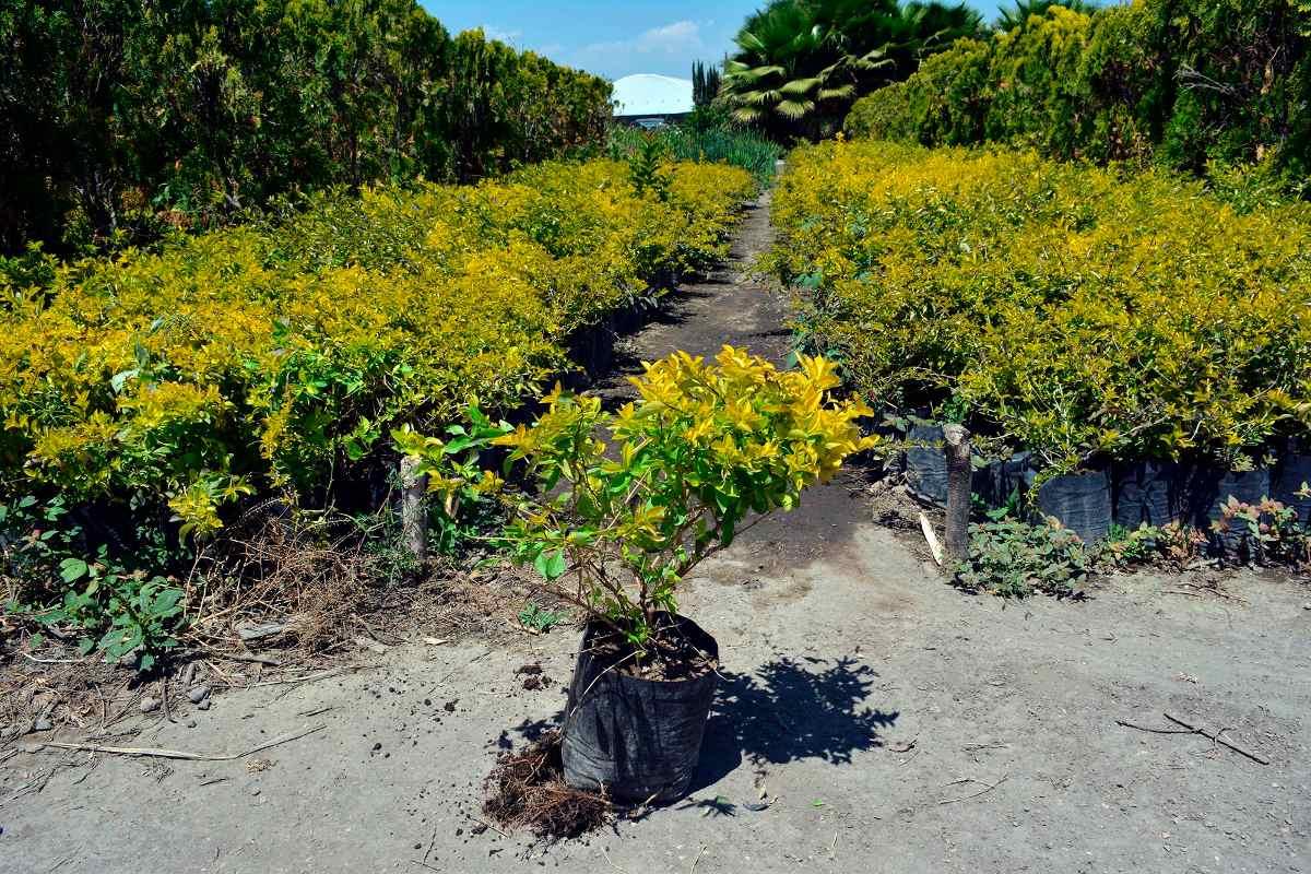 Duranta plantas ornato arbusto en mercado libre for Arbustos ornamentales de exterior