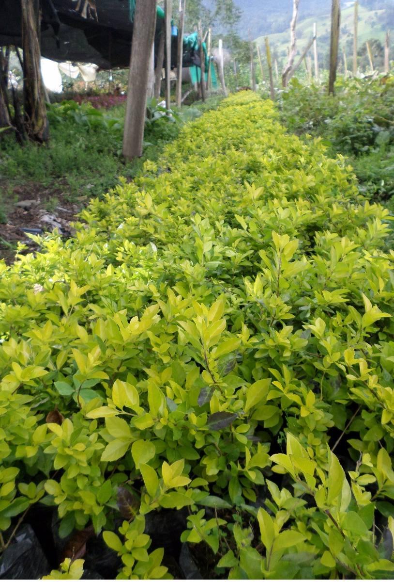 Durantas en mercado libre for Como se llaman las plantas ornamentales