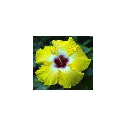 Egg Yoke Hardy Hibiscus Seeds 20 Seeds Per Packet 110777 En