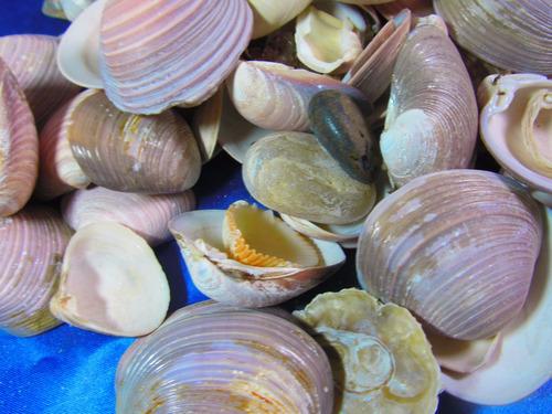 el arcon gran lote de caracoles marinos de coleccion 14060