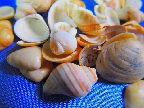 el arcon gran lote de caracoles marinos de coleccion 14061