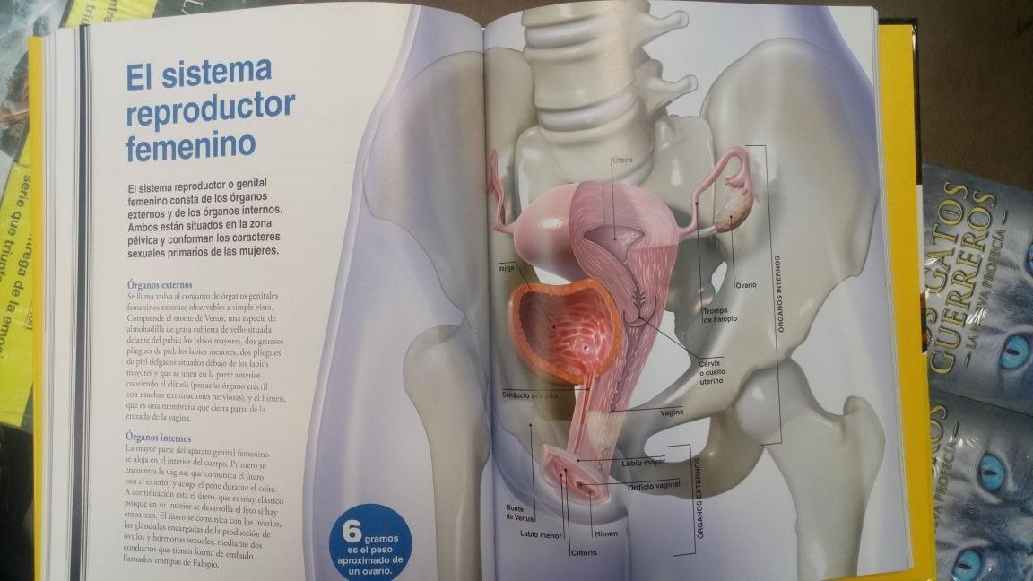 Lujo Los órganos Internos Del Cuerpo Humano Femenino Diagrama ...