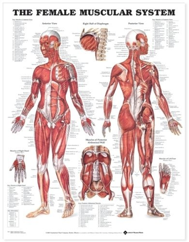 El Gráfico Femenino Sistema Muscular Anatómico - $ 1,490.26 en ...