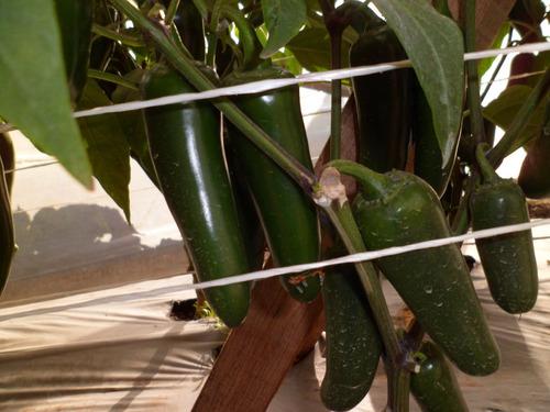 el pókar. chile jalapeño geneseeds. 40 mil semillas.
