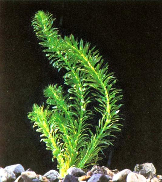 Elodea ageria superverde planta de acuario de agua dulce for Plantas de acuario