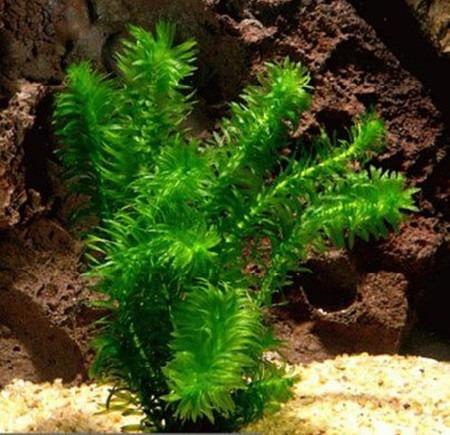 elodeas x 10 unidades - acuarios tropicales y agua fria