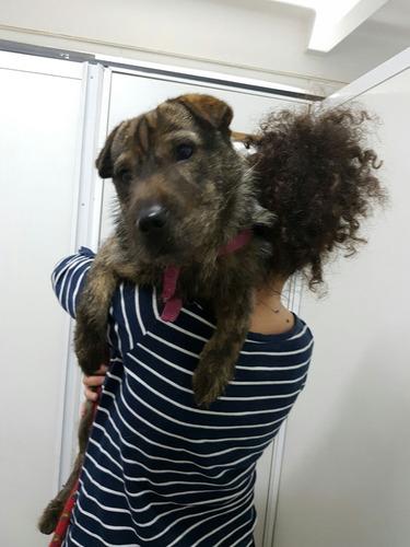 en adopción - mestizo sharpei cachorro hembra de 1 año