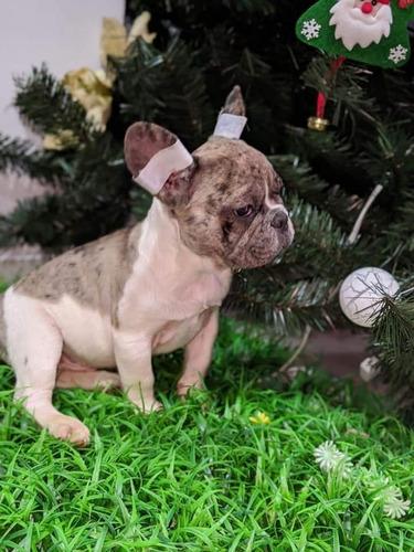 en venta bulldog francés económicos muy buena calidad