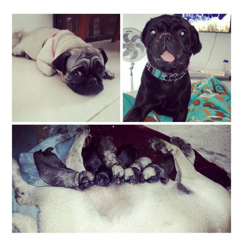 en venta cachorros pug