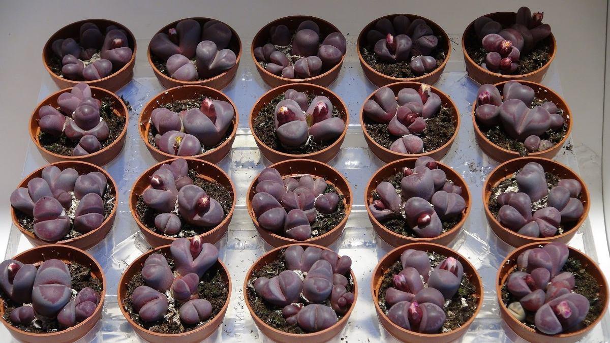 En Venta Lithops O Cactus Piedra Y Lithops Optica Rubraetc