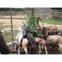 Cabras Ganado Caprino Crianza Y Manejo