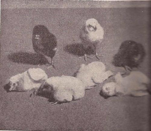 enfermedades de  gallinas - conejos - pavos - patos - ocas y