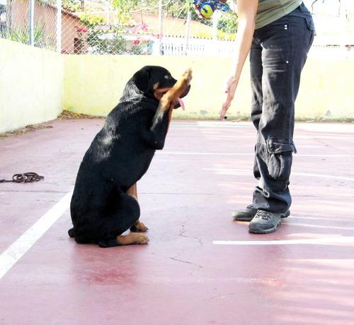 entrenamiento canino. escuelita de modales para cachorros