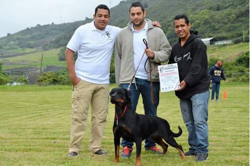 entrenamiento canino, rottweiler disponibles, línea adrk.